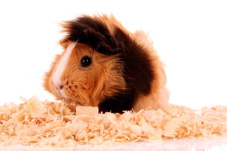 3 Types Of Small Animal Bedding, Can I Use Pine Shavings For Guinea Pig Bedding